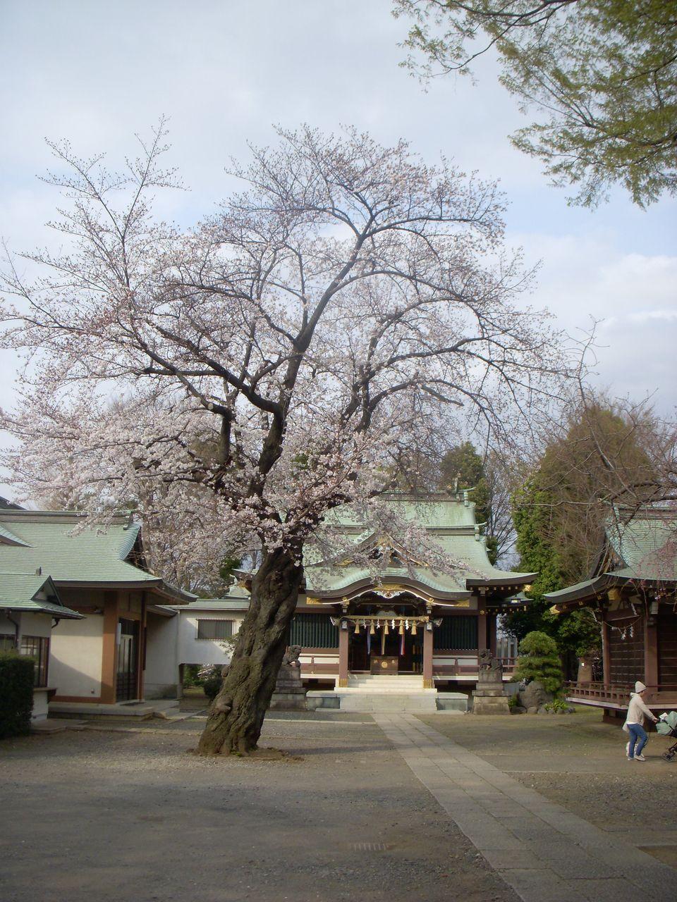 社殿 戦後に鉄筋コンクリートで建て替えられたそうです。旧本殿は本殿内に収められ内神殿となったとのこと。